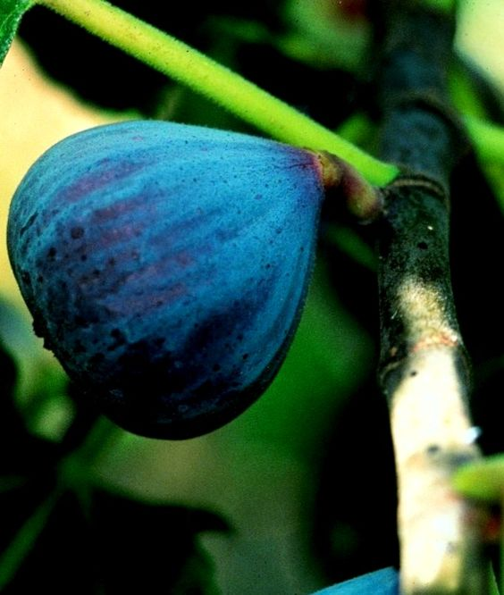 The Leaf Of A Blue Fig Tree